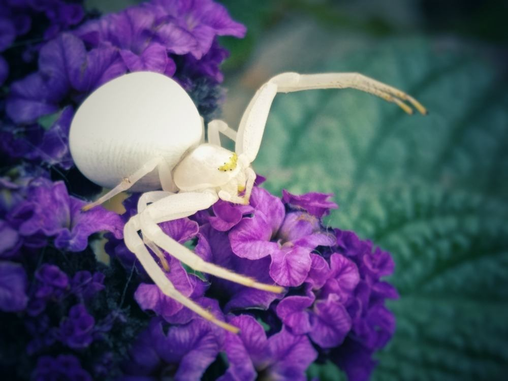 white spider on purple flower